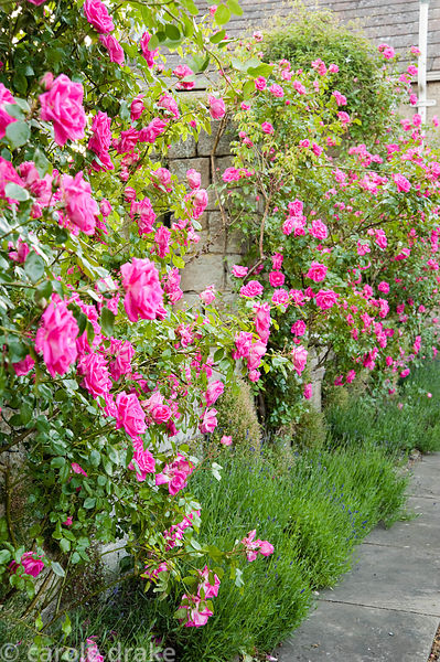 Pink roses on the pergola above lavenders. Whalton Manor Gardens, Whalton, Northumberland, UK