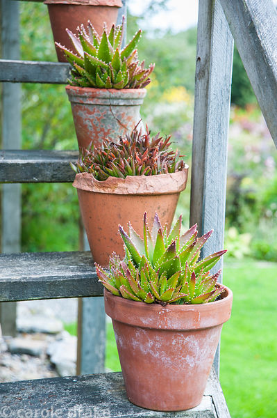 Succulents in terracotta pots on wooden steps leading up the side of one of the converted farm buildings. Dyffryn Fernant, Fi...