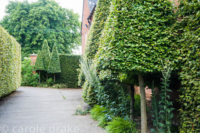 Narrow clipped pyramids of hornbeam cluster around the barns at Bury Court Barn, Bentley, Hants, UK
