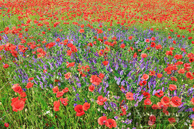 Corn poppy and vicias in meadow (lat. papaver rhoeas) - Europe, Germany, Mecklenburg-Vorpommern, Mecklenburg Lake District, P...