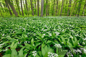 Bear garlic in beech forest (lat. allium ursinum) - Europe, Germany, Baden-Württemberg, Tübingen, Reutlingen, Metzingen, Reic...