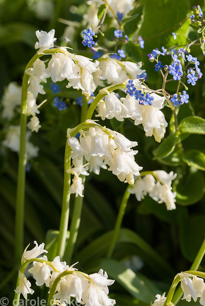 White bluebell. Milton Lodge, Wells, Somerset, UK
