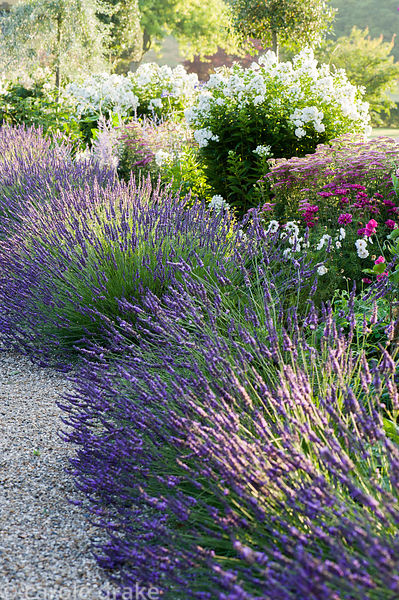 Summer borders in the Millennium Garden designed by Xa Tollemache are edged with Lavandula × intermedia 'Grosso' and feature ...