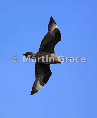 South Polar Skua (Catharacta (Skua) maccormicki) (Stercorarius maccormicki) flying against a clear blue sky, Weddell Sea, Ant...
