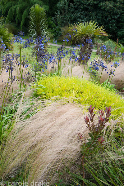 Coleonema pulchrum 'Sunset Gold' amongst Stipa tenuissima and Agapanthus inapertus