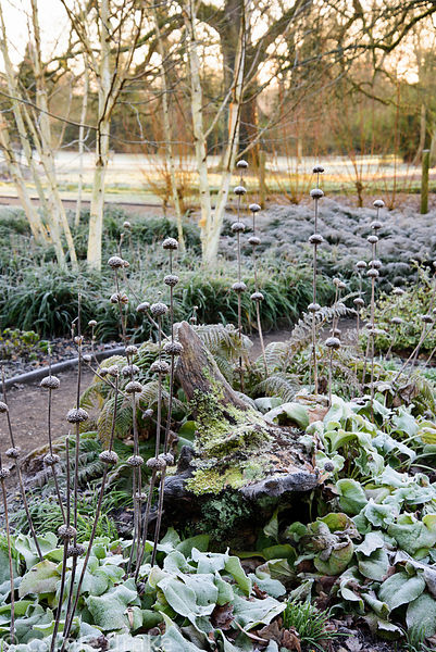 Frosted seedheads of Phlomis russeliana on a January morning in the Winter Garden at Mottisfont