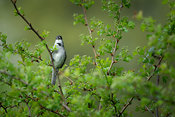 Blackcap in hawthorn bush - frontal view