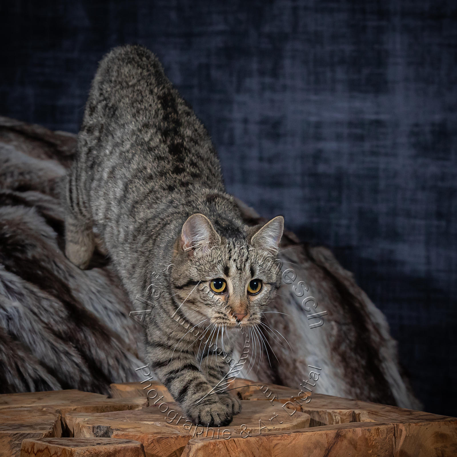 Photographie-Alain-Thimmesch-Chat-1091