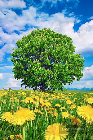 Horse chestnut on dandelion meadow (lat. aesculus hippocastanum) - Europe, Germany, Bavaria, Upper Bavaria, Garmisch-Partenki...