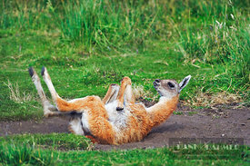 Guanaco cub dust bathing (lat. lama guanacoe) - South America, Chile, Magallanes, Torres del Paine, Rio Paine (Patagonia, And...