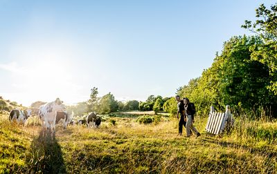 Hikers and cows on Mors, Denmark