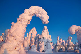 Boreal forest with snow covered spruces in winter - Europe, Finland, Northern Ostrobothnia, Taivalkoski, Iso Syöte (Lapland, ...