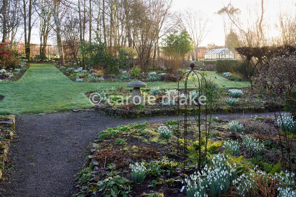 Clumps of bright white snowdrops illuminate the garden at Higher Cherubeer, Devon on a winter morning