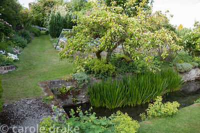Old apple tree hangs over the River Bride as it runs throught the lower end of the garden, underplanted with Alchemilla molli...