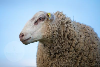 Young INRA 401 ram (Ovis orientalis aries)