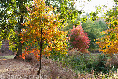 Nyssa sinensis catching afternoon sun at Marks Hall Gardens and Arboretum in autumn