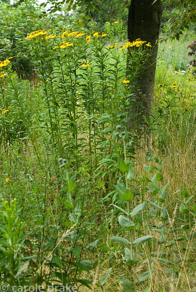Meadow area with Helenium autumnale. Holbrook Garden,Tiverton, Devon, UK