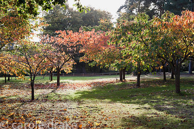 A glade of cherry trees beginning to turn orange at Marks Hall Gardens and Arboretum in autumn