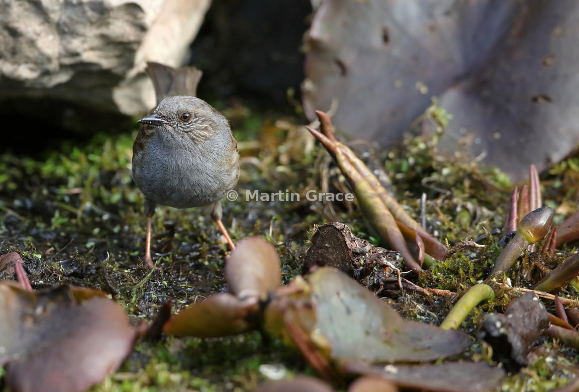 Dunnock (Prunella modularis) standing on vegetation in the garden pond, Lake District National Park, Cumbria, England