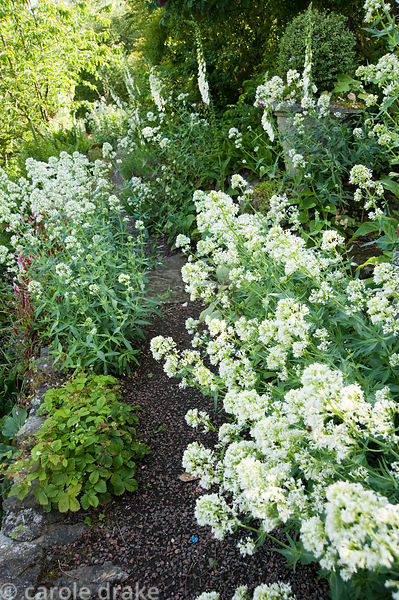 Gravel path lined with self seeded white valerian and foxgloves. Mindrum, nr Cornhill on Tweed, Northumberland, UK