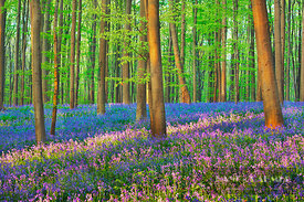 Beech forest with bluebells (lat. fagus sylvatica) - Europe, Belgium, Flanders, Halle, Hallerbos - digital
