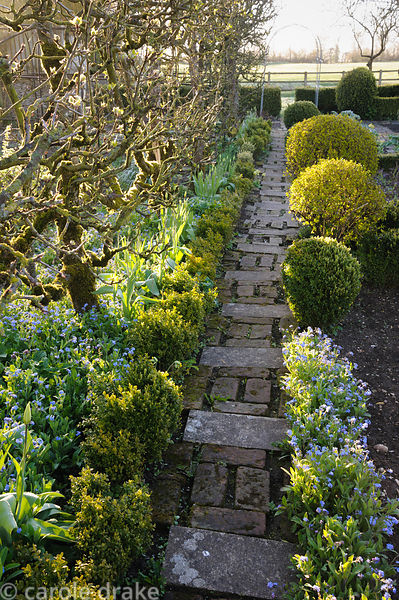 A brick and stone path in the potager runs between clipped box, espaliered apple trees and the blue flowers of forget-me-nots...