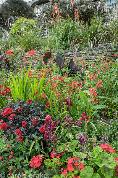 Hot border below the house bursting with colour, includes crocosmias, dahlias, antirrhinums, dark leaved bananas and pelargon...