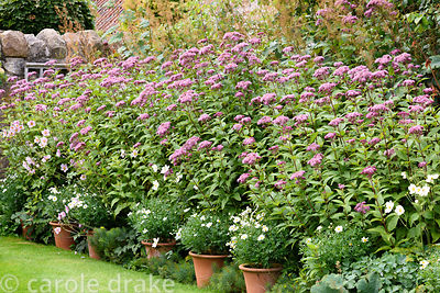 Eupatorium purpureum with pots of argyranthemums, white Japanese anemones and macleaya in the Lower Courtyard at Broadwoodsid...