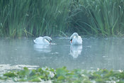 Pair of white swans on the morning lake