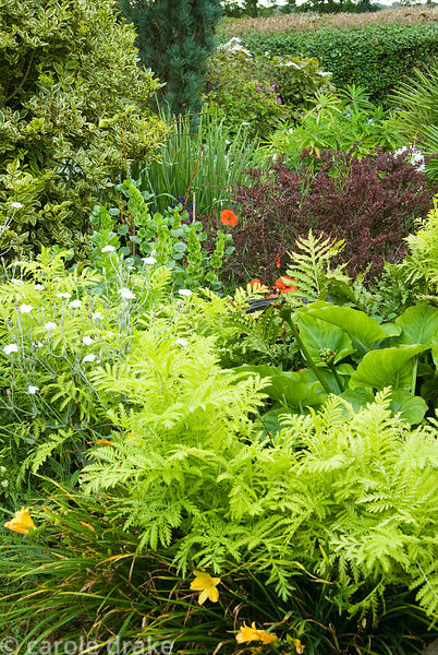 Lychnis coronaria 'Alba' amongst feathery lime foliage, zantedeschias, ferns and day lilies. Poppy Cottage Garden, Roseland P...