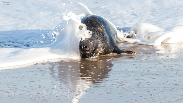 Grey seal bull (male)