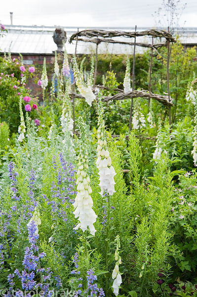 Self seeded white foxgloves with roses and woven willow plant support. Mindrum, nr Cornhill on Tweed, Northumberland, UK
