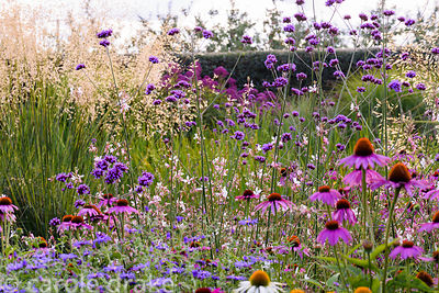 Echinacea purpurea 'Rubinglow' in front of Verbena bonariensis, Aster x frikartii 'Monch', white gaura and Stipa gigantea at ...