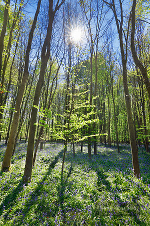 Beech forest with bluebells (lat. fagus sylvatica) - Europe, Germany, North Rhine-Westphalia, Cologne, Düren, Linnich, Floßdo...