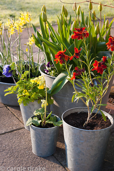 Galavanised containers planted with wallflowers, cowslips, violas, small narcissi and tulips at Terstan, Stockbridge, Hants, UK