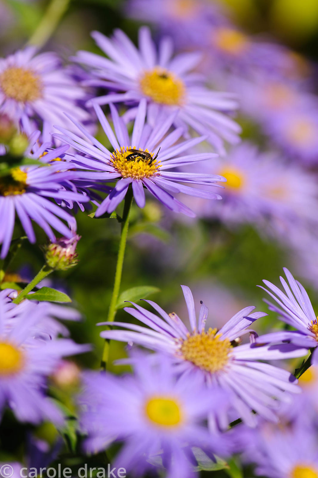 Aster x frikartii 'Monch'.