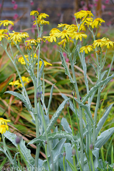 Senecio microspermus. 2 Durnamuck, Little Loch Broom, Wester Ross