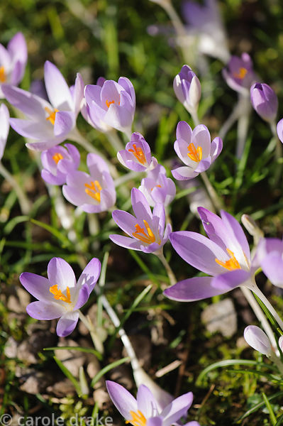Naturalized Crocus tommasinianus. Barn House, Brockweir Common, Glos, UK