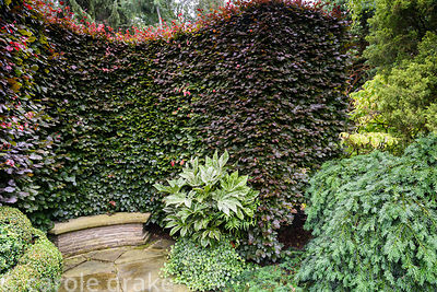A curved hedge of copper beech wraps itself around a curved bench, with variegated Fatsia japonica 'Spider's Web', ivy box an...