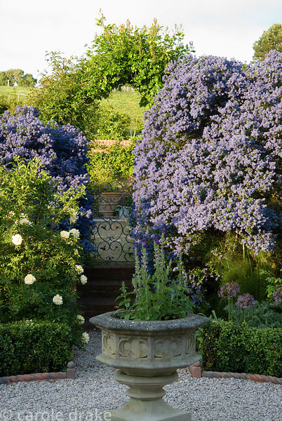 Ceanothus arboreus 'Trewithen Blue' surrounds steps up into walled kitchen garden. Old Rectory, Kingston, Isle of Wight, Hant...