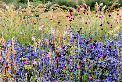 Eryngium bourgatii 'Picos Blue' with deep pink Dianthus carthusianorum and self seeded Linaria 'Canon Went' with Stipa calama...