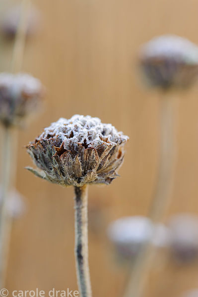 Frosted seedpods of Phlomis fruticosa. Barn House, Brockweir Common, Glos, UK