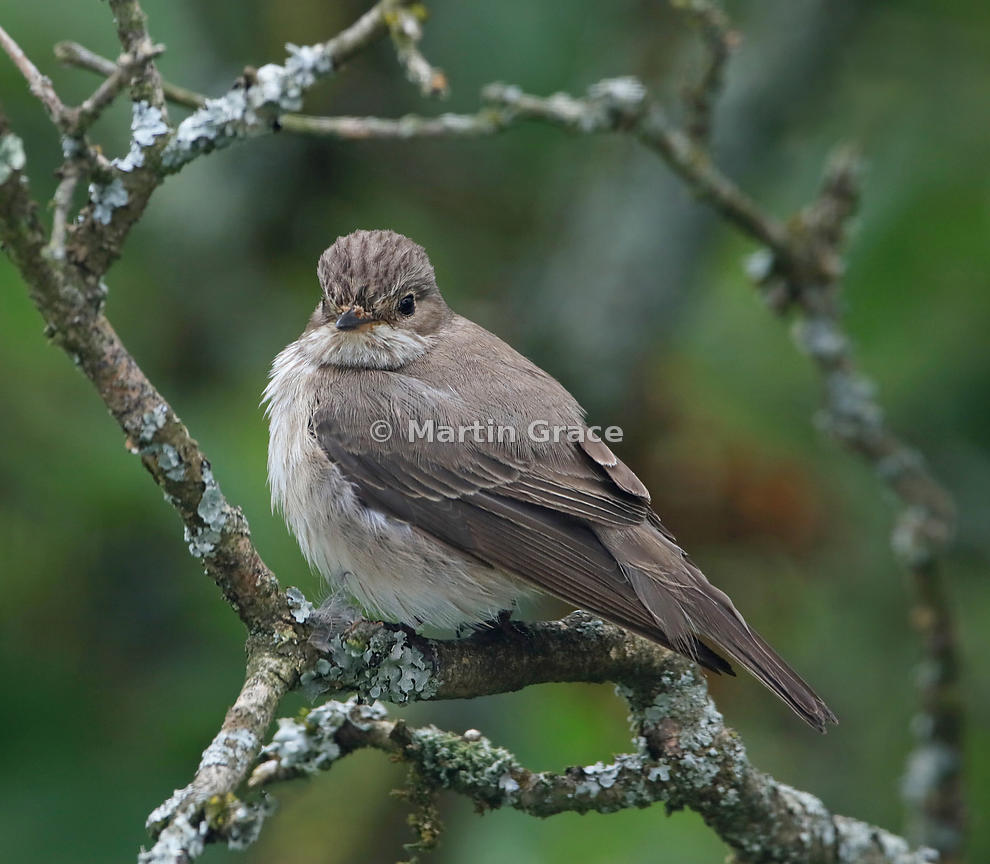 Spotted Flycatcher (Muscicapa striata), Lake District National Park, Cumbria, England