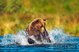 Alascan brown bear Hunting salmons (lat. ursus middendorffi) - North America, USA, Alaska, Kodiak Island, Frazer Lake, Dog Sa...