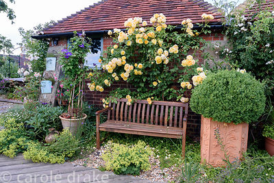 Bench in front of climbing double yellow rose with containers of clipped box and clematis amongst self seeded Alchemilla moll...