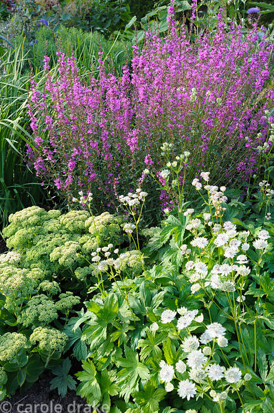 Border with lythrum, astrantias and sedums