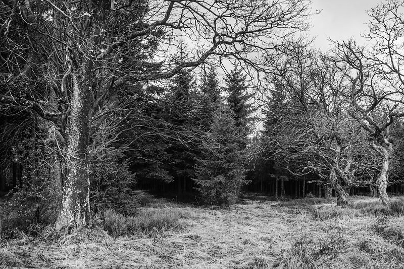 Open place in the pines forest with some old and kinky trees BW