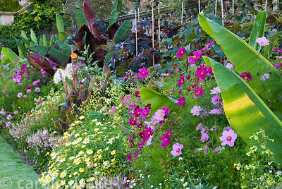 Lushly planted border on the lower terrace containing Ensete ventricosum 'Rubrum', cannas, castor oil plants, cosmos, cleomes...