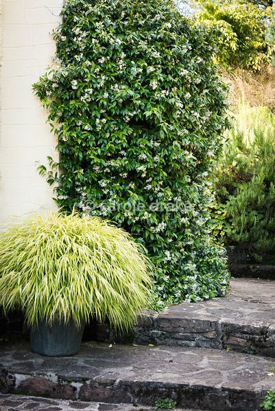 Trachelospermum jasminoides against a wall with a pot of Hakonechloa macra 'Aureola' at Barn House, Gloucestershire in September