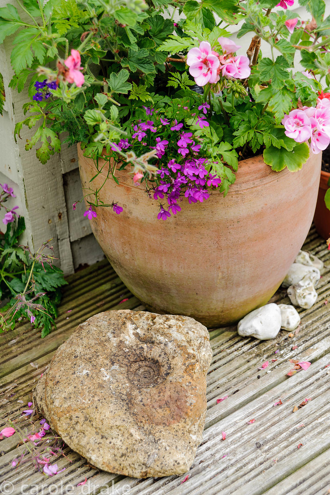 Terracotta pot planted with pelargonium and lobelia with stone in front containing fossilised ammonite.